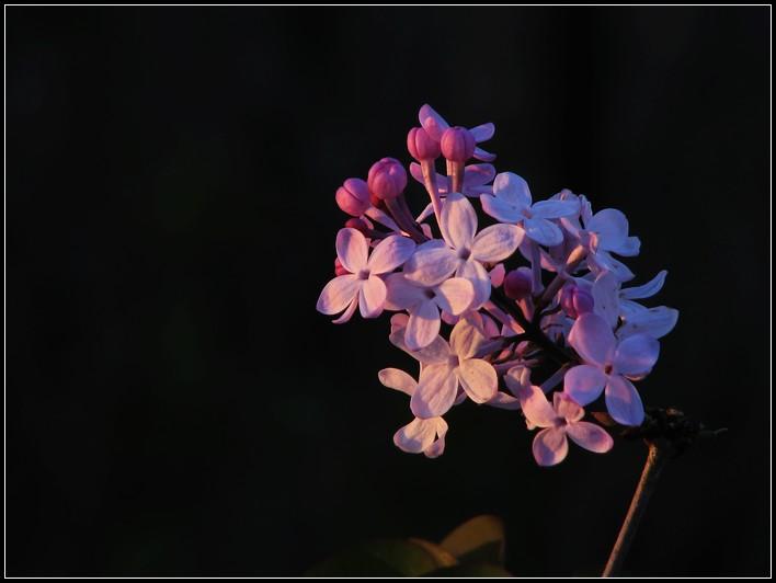 41  丁香花